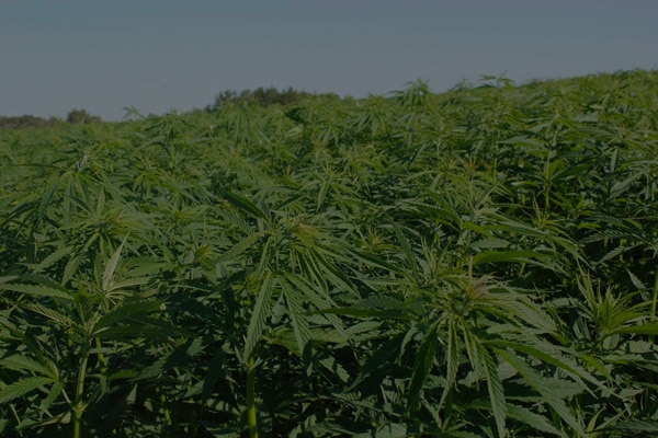 Hemp plants on a farm for making CBD oil