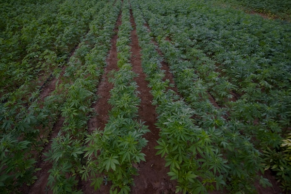 Field of Hemp, hemp farm for making CBD Oil