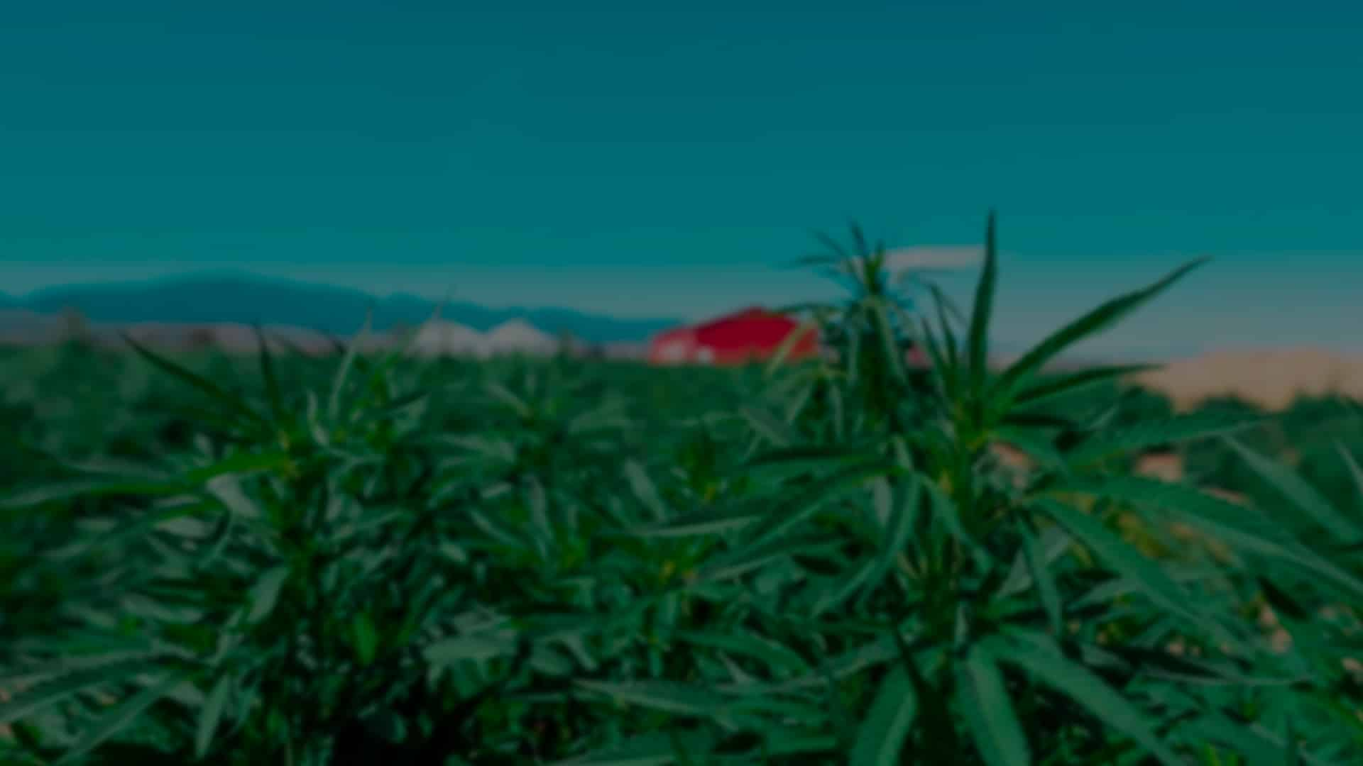 Close up of hemp plant for making CBD oil